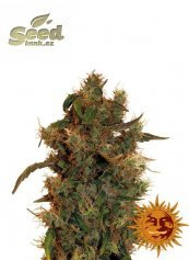 Barney´s Farm 8 Ball Kush feminized
