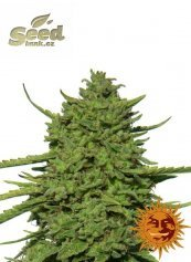 Barney´s Farm Amnesia Lemon feminized