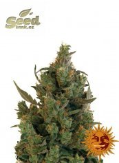Barney´s Farm Blue Cheese feminized
