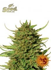 Barney´s Farm Critical Kush feminized