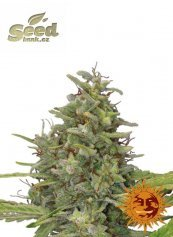 Barney´s Farm G13 Haze feminized